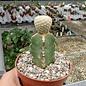 Euphorbia piscidermis    gepfr.