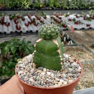 Euphorbia gymnocalycioides    gepfr.