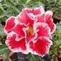 Adenium obesum White- Red Pelargonium CC 51  gepfr.