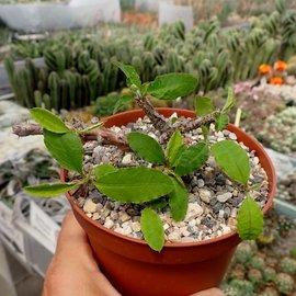 Euphorbia fianarantsoae