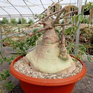 Adenia glauca XL   Botswana, Südafrika