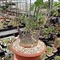 Adenia glauca   Botswana, Südafrika