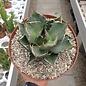 Agave titanota  FO 076 Sierra Mixteca