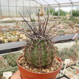 Carnegiea gigantea Saguaro