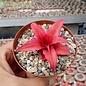 Cryptanthus bivittatus cv. Ruby Star