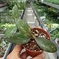 Hoya biakensis cv. Spotted Leaves ALS2