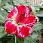 Adenium obesum Indian Surprise CE 07  gepfr.