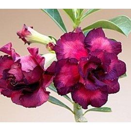 Adenium obesum Purple Rose CD 010  gepfr.
