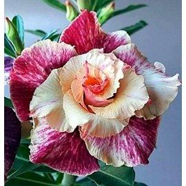 Adenium obesum Harlequin Rose CF 05  gepfr.