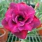 Adenium obesum Cranberries RC 526  gepfr.