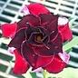 Adenium obesum Romantic Feelings RC 525  gepfr.