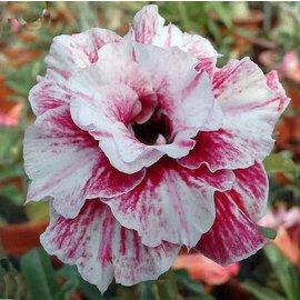 Adenium obesum Flower Girl RC 524  gepfr.