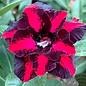 Adenium obesum Between Flower RC 634  gepfr.