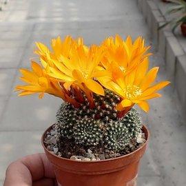 Rebutia krainziana cv. Orangiflora