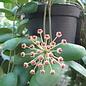 Hoya incurvula