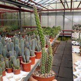 Selenicereus grandiflorus ssp. lautneri  San Pedro Huamelula Oaxaca, Mex