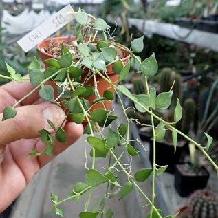 Dischidia ruscifolia cv. Small Leaves