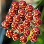 Hoya cv. Rosita