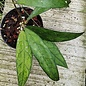 Hoya finlaysonii Songkha
