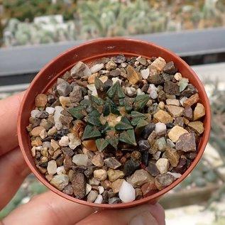 Ariocarpus kotschoubeyanus   Las Tablas   CITES, not outside EU