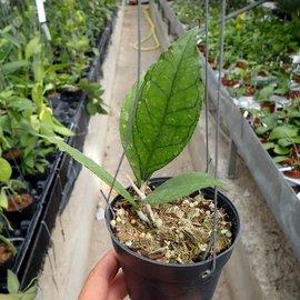 Hoya finlaysonii cv. Big Leaf