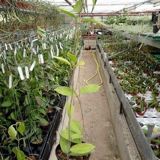 Hoya kenejiana cv. Red Corona