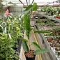 Hoya onychoides cv. Long Leaf (PNG SV 441) IML 0559