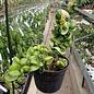 Hoya carnosa cv. Compacta New
