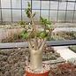 Adenium arabicum cv. TSC