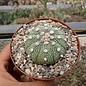 Astrophytum asterias cv. Super Kabuto-Hybr.