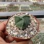 Astrophytum myriostigma cv. tricostata nudum