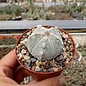 Astrophytum-Hybr. COAS