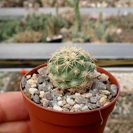 Coryphantha kracikii  KKR 339 El Diamante nr, Durango