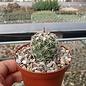 Coryphantha tripugionacantha  PP 1012 Tepetatita, Zacatecas, Mexico
