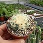 Echinocactus grusonii cv. Superkrauskopf