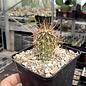Echinocereus engelmannii       (dw)