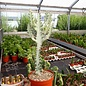 Euphorbia lactea cv. White Ghost