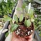 Hoya biakensis cv. Spotted Leaves ALS1