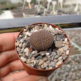 Lithops hookeri v. hookeri vermiculate form