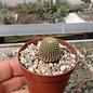 Lobivia famatimensis v. FR 459 Argentinien