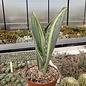 Sansevieria masoniana cv. variegata