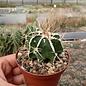 Astrophytum myriostigma cv. Fukuryu Dinosaur