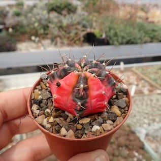 Gymnocalycium mihanovichii cv. variegata