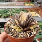 Haworthia heidelbergensis cv. variegata