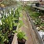 Hoya erythrostemma cv. Pink Flower
