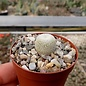 Epithelantha micromeris ssp. greggii