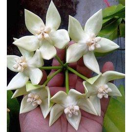 Hoya imperialis cv. Alba