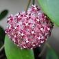 Hoya mindorensis ssp. Superba