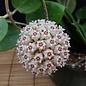 Hoya parasitica cv. Heart Leaf Splash