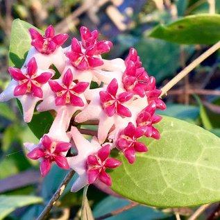 Hoya patricia
